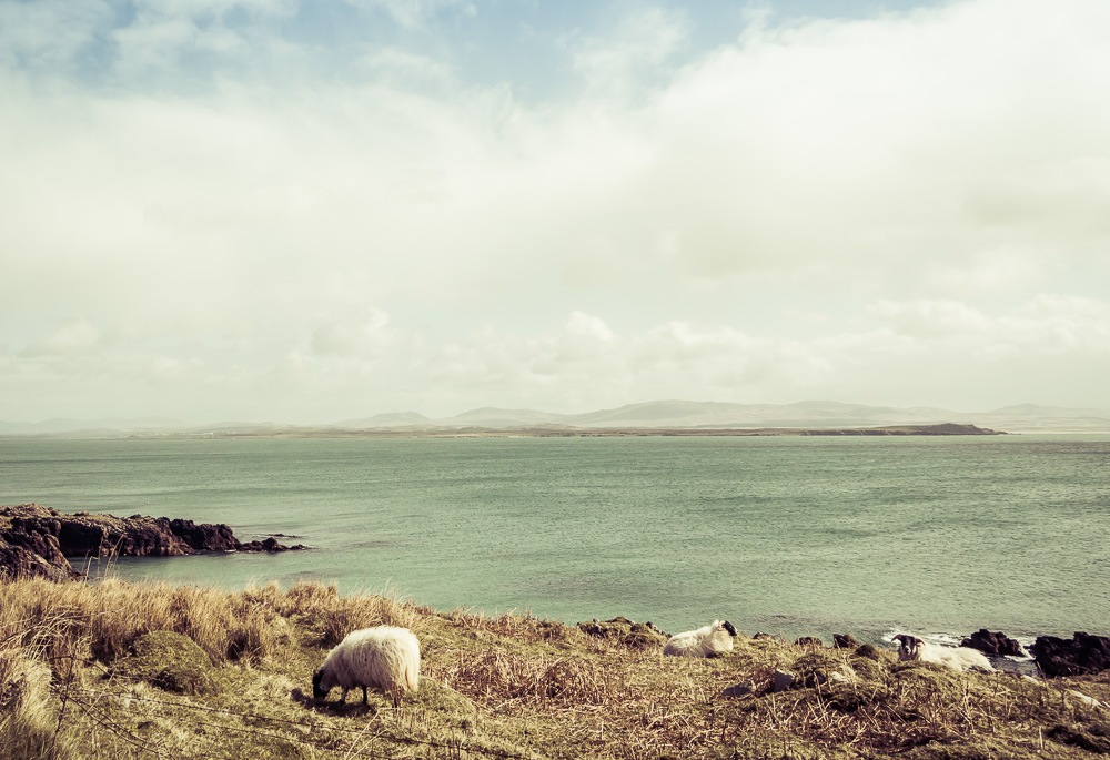 Sheep grazing on the Rhinns looking towards Bowmore