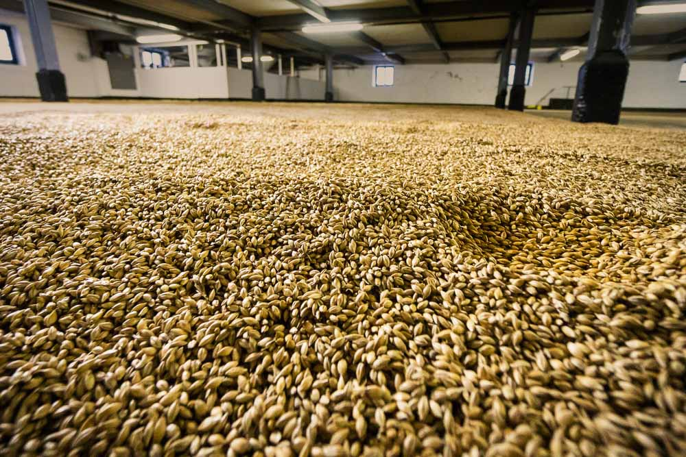 Barley grains malting on the floors at Bowmore Distillery.